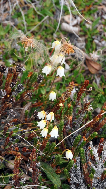 Arctic Heather (Cassiope tetragona)